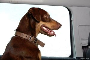 Motorists Still Putting Dogs Lives at Risk